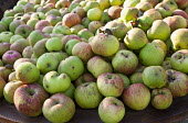 Pile of harvested cooking apples