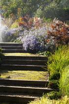 Steps, Cotinus 'Grace', Aster x frikartii 'Mönch'