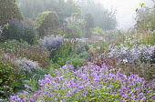 Strobilanthes rankanensis, wavy clipped hornbeam hedge, Aster 'Vasterival' and 'Photograph', Persicaria amplexicaulis