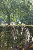 Actaea simplex Atropurpurea Group 'James Compton', hedge, apple tree