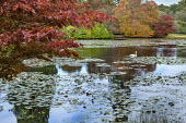 Acer palmatum overhanging waterlily lake, swan, Nyssa sylvatica