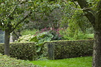 Rustic wooden gate in clipped hornbeam hedge, apple tree orchard, hydrangea, eupatorium, gunnera