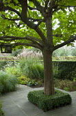 Clipped box around base of tree, miscanthus, veronicastrum, anemone