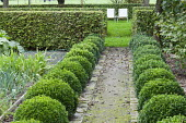 Rows of clipped box balls along path, hornbeam hedge, chairs