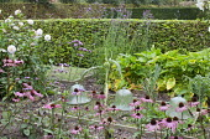 Raised beds in vegetable plot, Echinacea purpurea, Verbena bonariensis, dahlia, glass cloches, hornbeam hedge