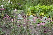 Raised beds in vegetable plot, Echinacea purpurea, glass cloches