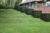 Stepped row of clipped yew cubes in sloping garden, tiered lawn