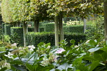 Pleached hornbeam hedge, clipped box cubes, hydrangea
