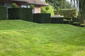 Tiered row of clipped yew cubes by house, lawn