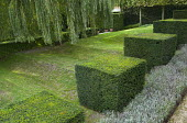 Row of clipped yew cubes in sloping garden, lawn, Weeping willow, lavender border