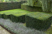 Stepped row of clipped yew cubes in sloping garden, lavender, Weeping willow, garden 'room'