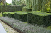 Stepped row of clipped yew cubes in sloping garden, lavender, Weeping willow, lavender, lavender