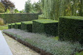 Stepped row of clipped yew cubes in sloping garden, lavender, Weeping willow, lavender