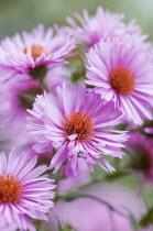 Symphyotrichum novae-angliae 'Harrington's Pink' syn. aster