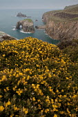 Common Gorse, Ulex europaeus in flower on the cliffs at Land's End, Cornwall