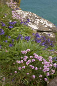 Thrift and Bluebells on the West coast of The Lizard in spring, near Mullion Cove, Cornwall.
