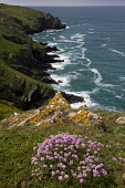 Thrift on the West coast of The Lizard in spring, near Mullion Cove, Cornwall.