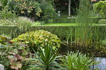 Typha latifolia, hosta, Darmera peltata at pond edge