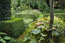 Darmera peltata under tree, clipped hedge, grass path
