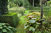 Darmera peltata under tree, clipped hedge, grass path with steps leading to urn focal point