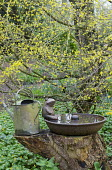 Cornus mas, metal pig feeder trough on tree stump, watering can