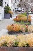 Anemanthele lessoniana syn. Stipa arundinacea and anigozanthos in large Cor-Ten steel container on terraced sidewalk pavement, San Francisco street