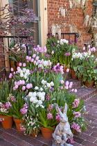 Containers with Hyacinthus orientalis, Tulipa 'Mystic van Eijk', Tulipa 'Maureen' and muscari on brick steps, wisteria climbing on house wall, rabbit ornament