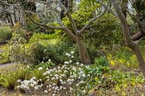 Woodland garden, Trillium chloropetalum and Epimedium perralderianum, Dryopteris blanfordii