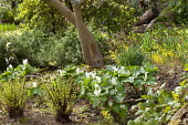 Trillium chloropetalum, Epimedium perralderianum, Dryopteris blanfordii