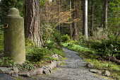 Gravel path through woodland garden, Acer palmatum 'Katsura', cyclamen, trifolium, brunnera