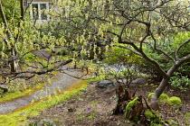 Corylopsis spicata overhanging path