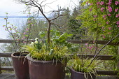 Ribes sanguineum 'King Edward VII' in large containers on terrace underplanted with Acorus gramineus, view of the Puget Sound