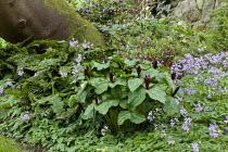 Trillium chloropetalum, Cardamine quinquefolia, Polystichum setiferum Plumosomultilobum Group