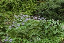 Cardamine quinquefolia, Trillium chloropetalum, Polystichum setiferum Plumosomultilobum Group