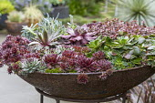 Sempervivums in metal container
