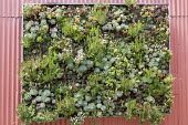 Vertical Succulent Garden, D.I.Y. Panel with sedum and sempervivum