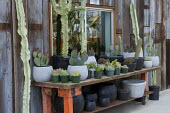 Cacti in containers on work bench