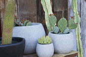 Cacti in containers