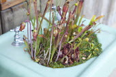Sarracenia in old sink container