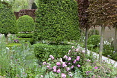 Clipped Buxus sempervirens 'Rotundifolia' topiary, pleached Fagus sylvatica Atropurpurea Group, Rosa 'Reine Victoria' on woven hazel plant supports, Centranthus lecoqii