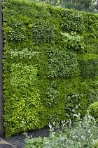 Living green herb and box wall, Convolvulus cneorum, Geranium phaeum 'Album'