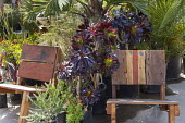 Aeoniums in containers between rustic wooden chairs