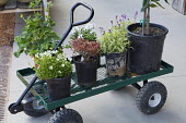 Plants in pots on trolley, including erysimum, aquilegia and Saxifraga decipiens syn. Saxifraga rosacea,