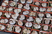 Lithops hookeri var. subfenestrata in mini containers