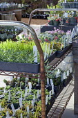 Succulent seedlings in pots and trays on metal trolley