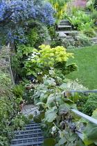 Vitis coignetiae on staircase railings, Ceanothus 'Skylark', Acer shirasawanum 'Aureum', syn. Acer japonicum 'Aureum', Zantedeschia aethiopica, laburnum, bench