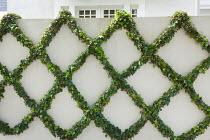 Ivy trained on wall into diamond shaped lattice pattern