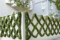 Ivy trained on wall into diamond shaped lattice