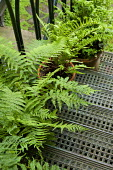 Ferns in containers on metal steps