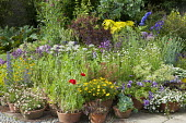 Display of terracotta pots, Delphinium New Millenium Mix, Helipterum roseum 'Pierrot', Allium nigrum, poppies, sempervivum, echeveria, petunia, bacopa, echium, agave, pelargonium, cotinus
